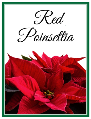 Red Poinsettia from Walker's Flower Shop in Huron, SD