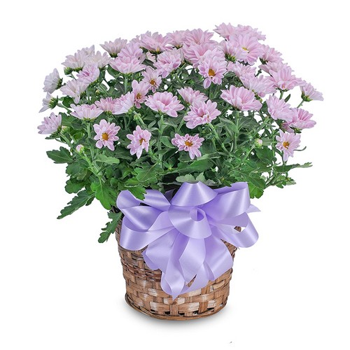 Lavender Chrysanthemum Basket from Walker's Flower Shop in Huron, SD