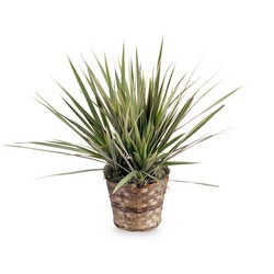 Dracaena Marginata Plant from Walker's Flower Shop in Huron, SD