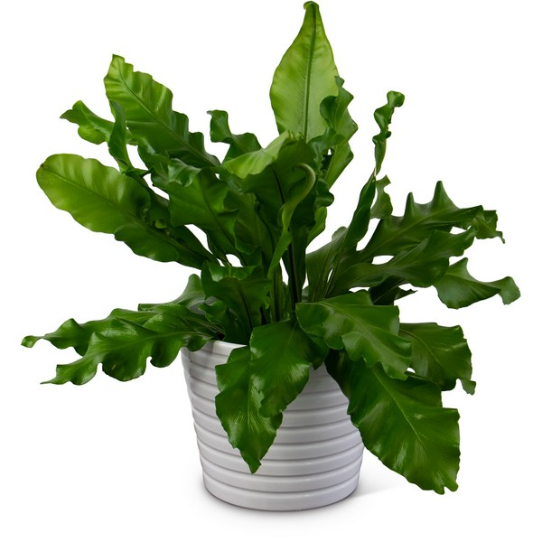 Bird's Nest Fern from Walker's Flower Shop in Huron, SD