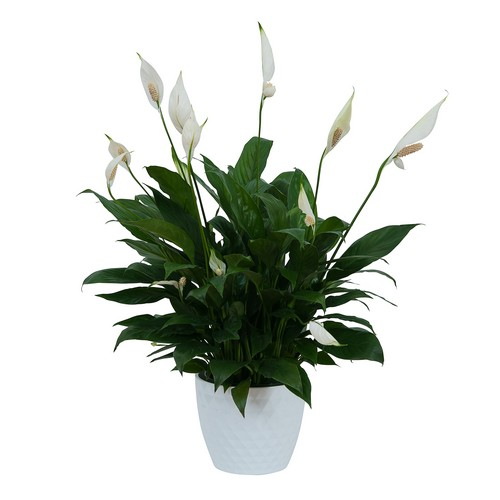 Peace Lily Plant in White Ceramic Container from Walker's Flower Shop in Huron, SD