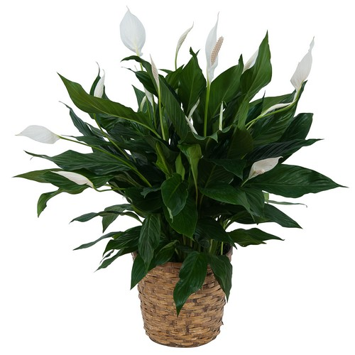 Peace Lily Plant in Basket from Walker's Flower Shop in Huron, SD