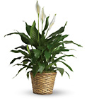 Simply Elegant Spathiphyllum - Large from Walker's Flower Shop in Huron, SD